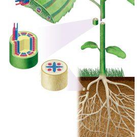 葉,茎,根の維管束